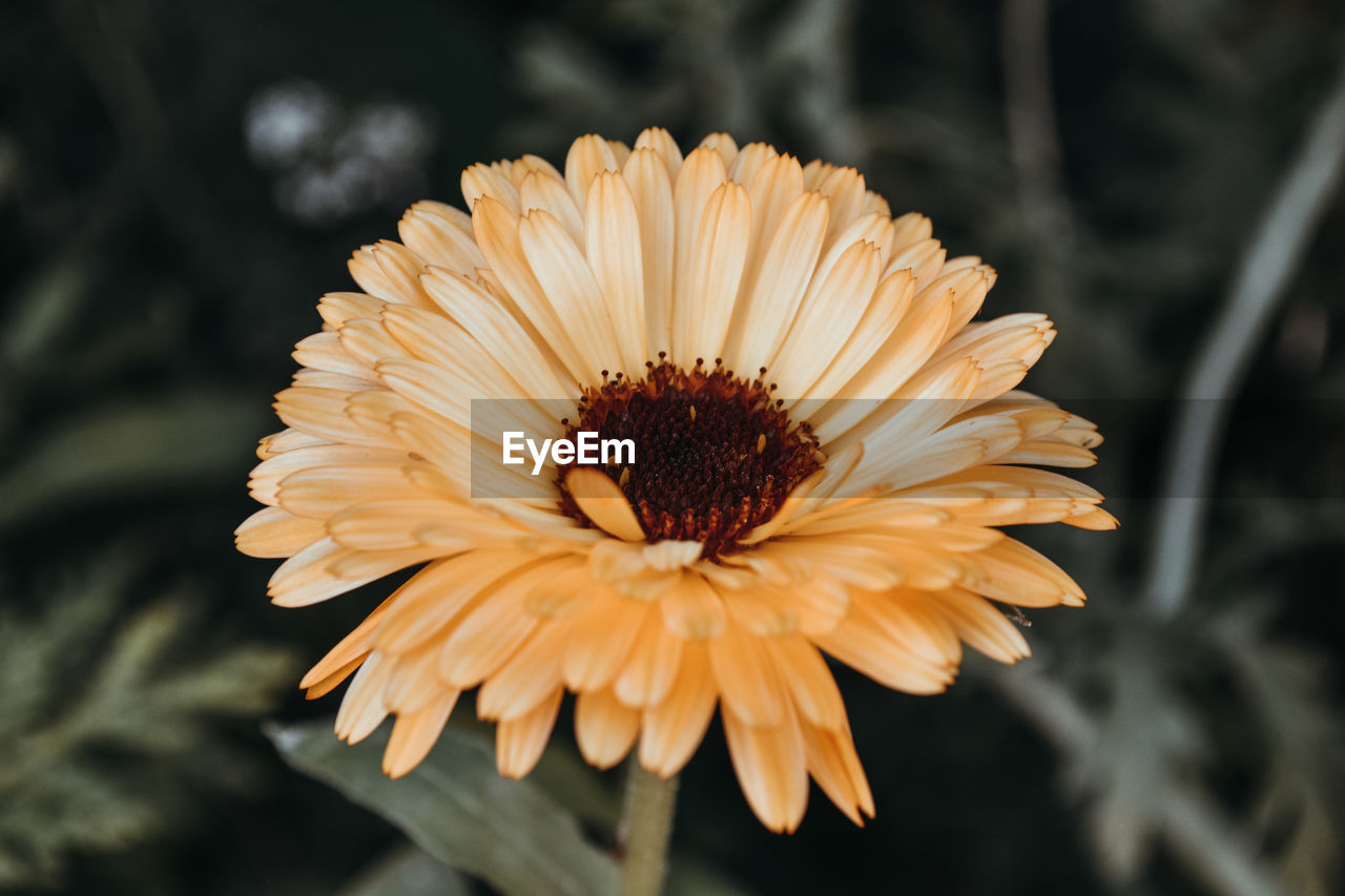 flower head, flowering plant, flower, vulnerability, freshness, petal, fragility, beauty in nature, inflorescence, close-up, growth, plant, focus on foreground, nature, pollen, no people, yellow, daisy, day, gazania