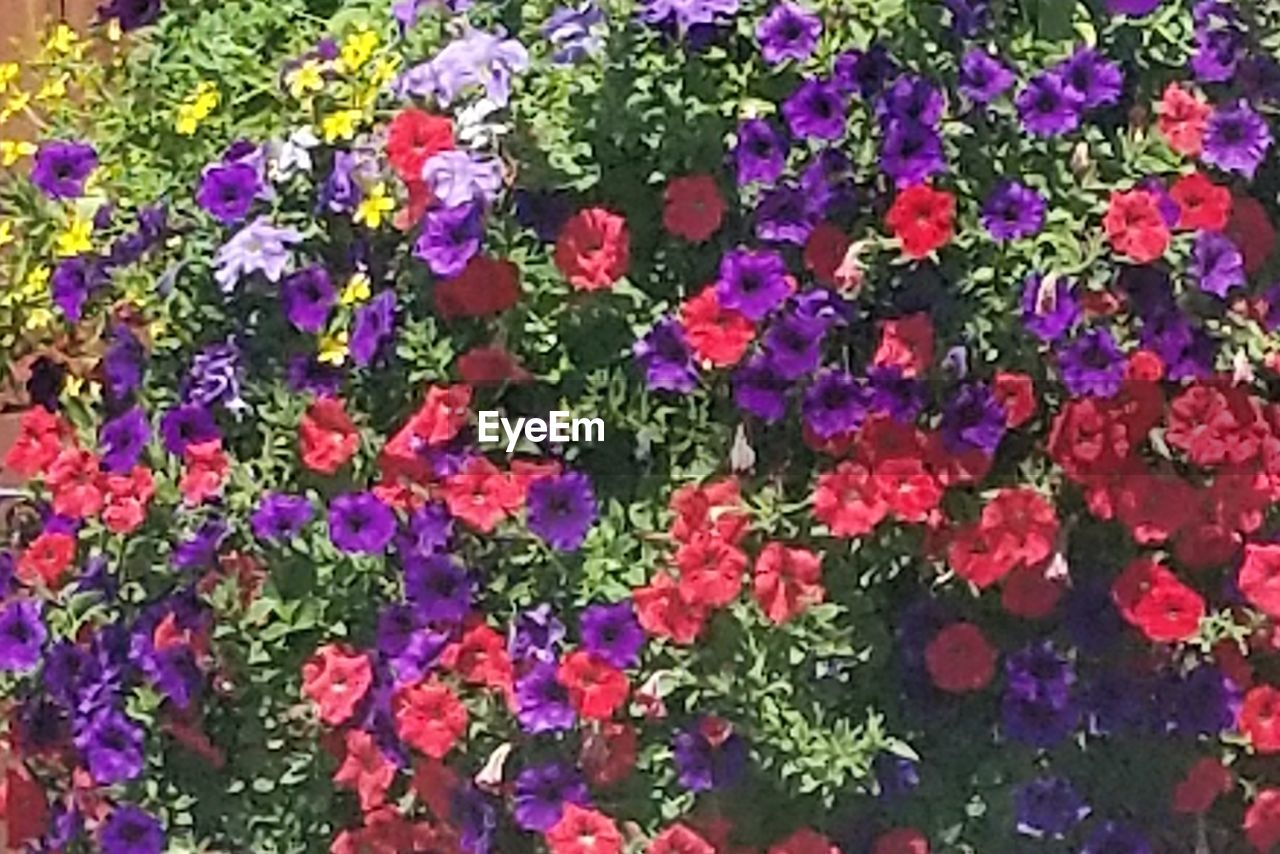 flower, growth, full frame, multi colored, backgrounds, plant, leaf, nature, pink color, green color, fragility, day, flowerbed, no people, outdoors, freshness, beauty in nature, close-up, flower head, petunia