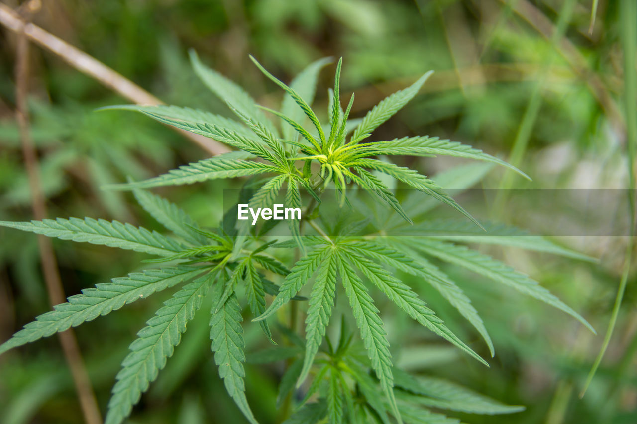 green color, plant, leaf, plant part, growth, marijuana - herbal cannabis, close-up, nature, beauty in nature, no people, healthcare and medicine, day, narcotic, selective focus, focus on foreground, medicine, outdoors, cannabis plant, freshness, herb, leaves
