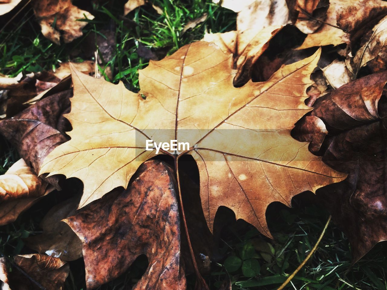 HIGH ANGLE VIEW OF MAPLE LEAVES FALLEN IN AUTUMN