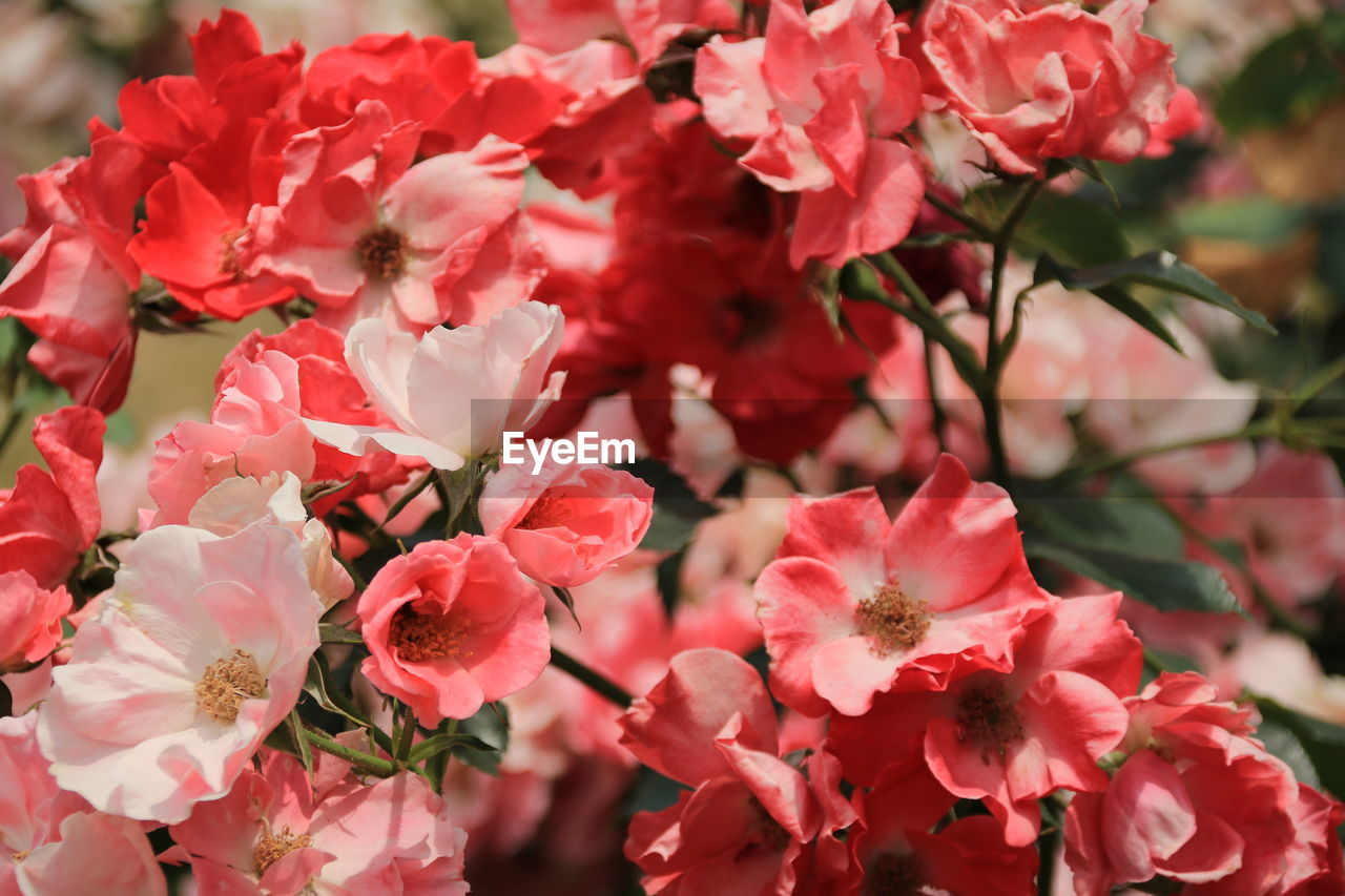 flowering plant, flower, plant, beauty in nature, growth, fragility, petal, freshness, vulnerability, close-up, inflorescence, flower head, pink color, red, no people, day, nature, focus on foreground, botany, blossom, springtime, bunch of flowers, outdoors, pollen, cherry blossom
