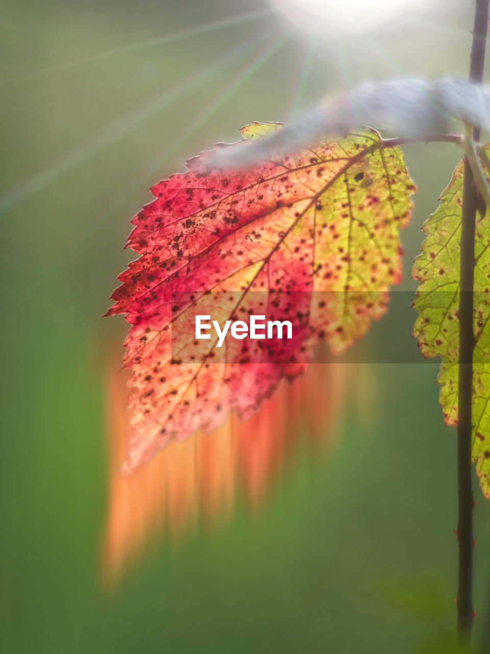 leaf, nature, beauty in nature, autumn, change, no people, growth, outdoors, day, close-up, green color, fragility, tranquility, sun, sunlight, red, water, maple leaf, grass, maple, freshness