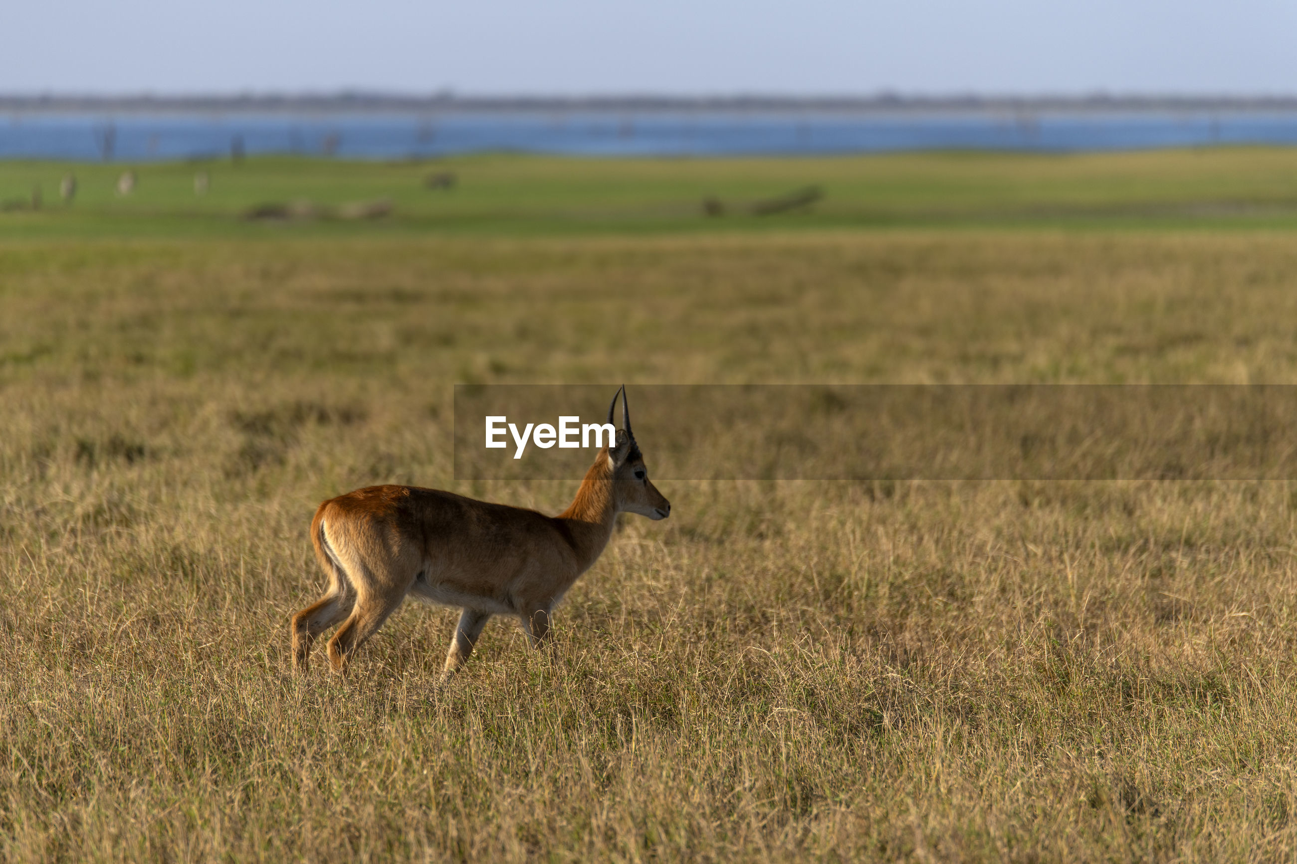 Side view of an impala on field