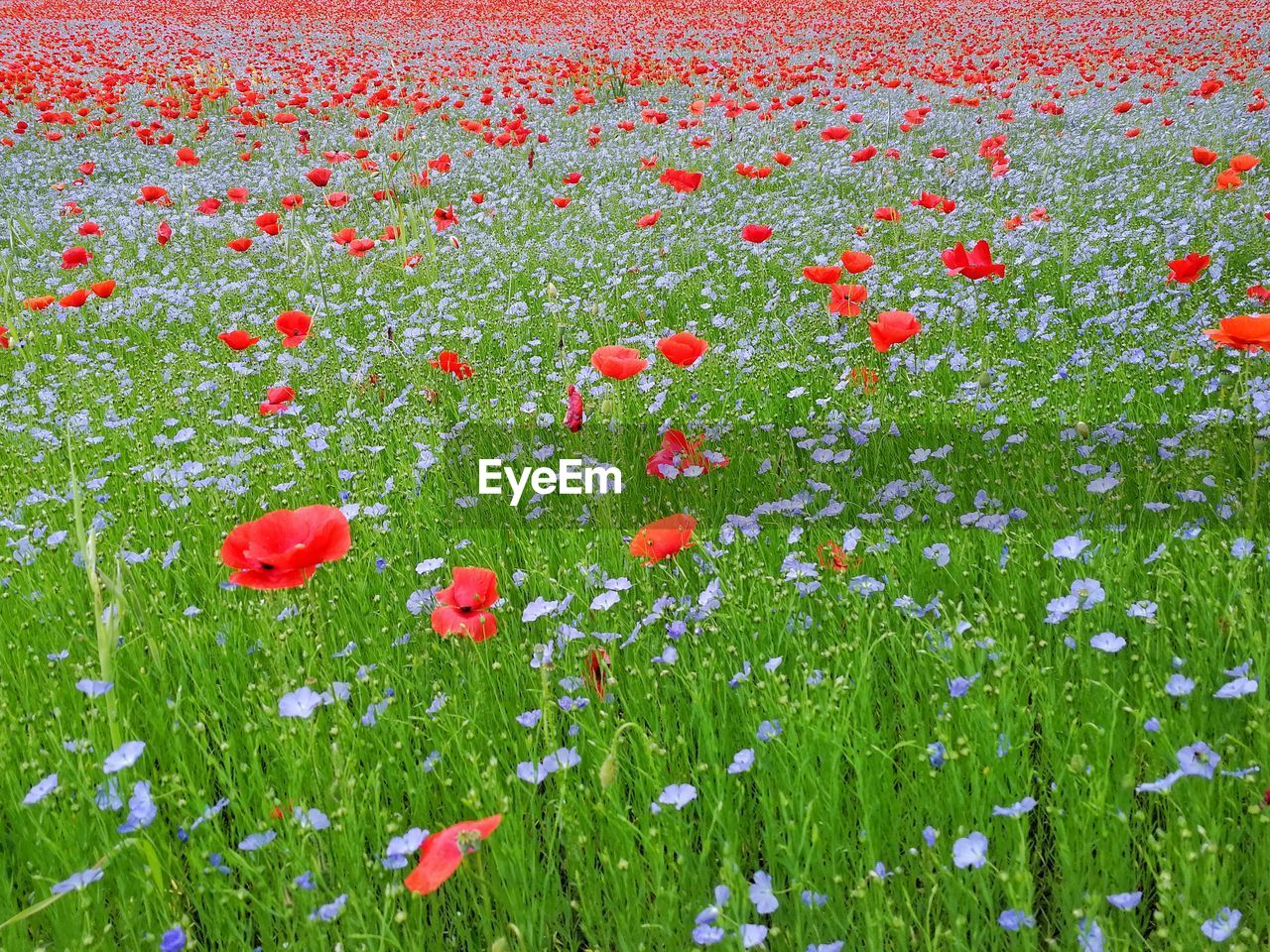 flower, flowering plant, plant, freshness, red, beauty in nature, growth, fragility, vulnerability, poppy, petal, field, land, nature, green color, no people, inflorescence, flower head, day, grass, outdoors, flowerbed