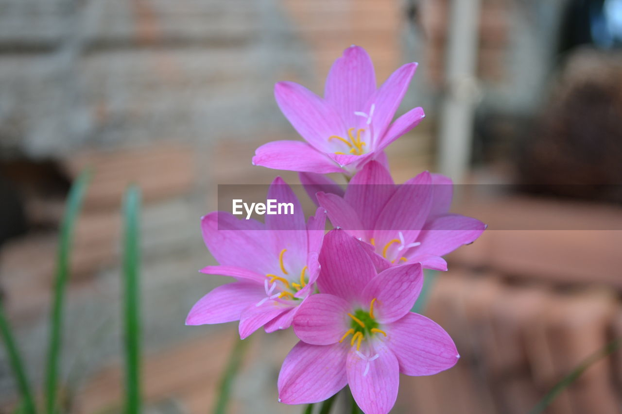 flower, petal, fragility, freshness, beauty in nature, pink color, nature, focus on foreground, flower head, close-up, plant, outdoors, day, blooming, no people, growth