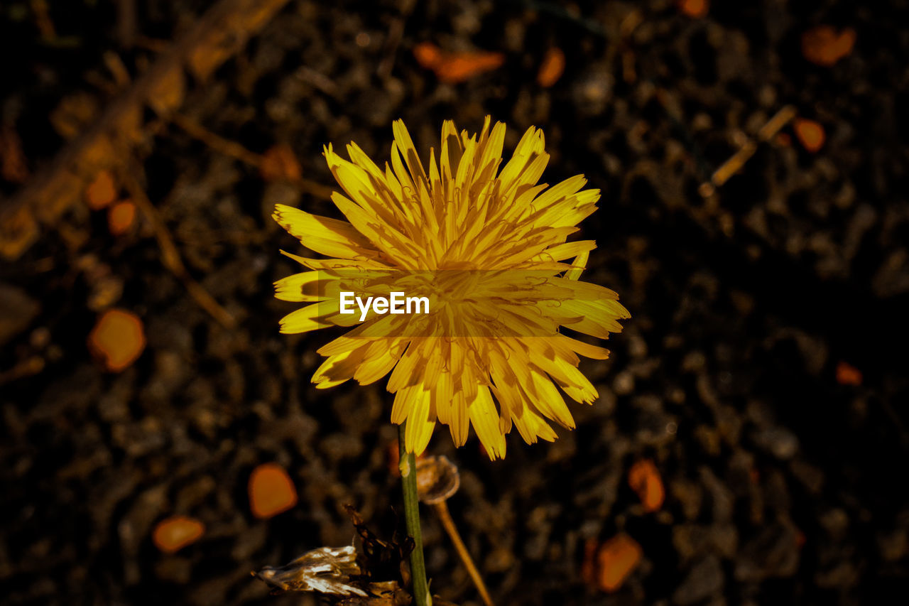 flower, petal, fragility, yellow, freshness, beauty in nature, flower head, nature, growth, close-up, focus on foreground, plant, blooming, day, outdoors, no people