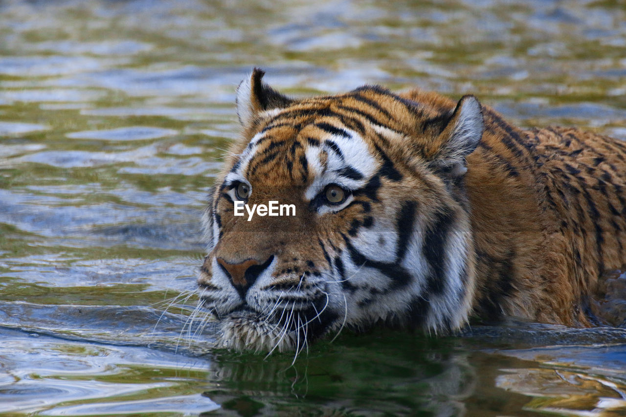 animal, animal themes, one animal, animal wildlife, animals in the wild, tiger, water, mammal, feline, cat, big cat, nature, lake, no people, animal body part, portrait, animal head, day, outdoors, whisker, drinking, aggression