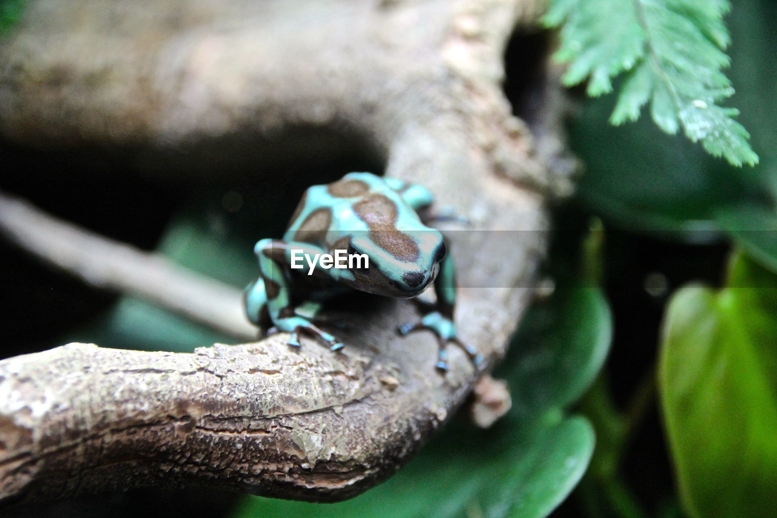 Close-up of poison dart frog on branch