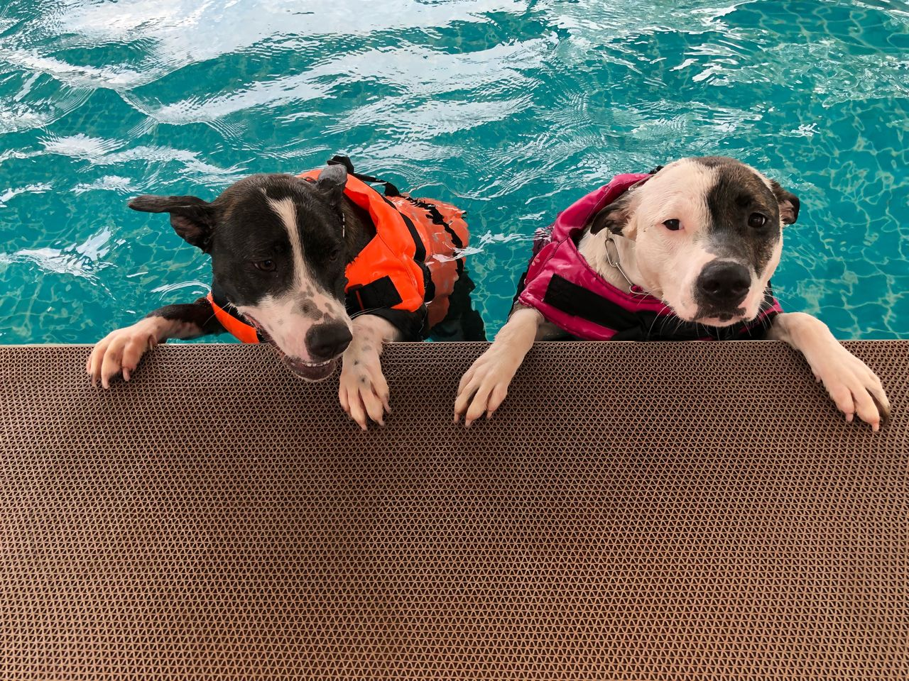 animal themes, dog, mammal, canine, animal, domestic, pets, domestic animals, one animal, vertebrate, water, portrait, looking at camera, no people, collar, day, nature, sea, swimming pool, weimaraner