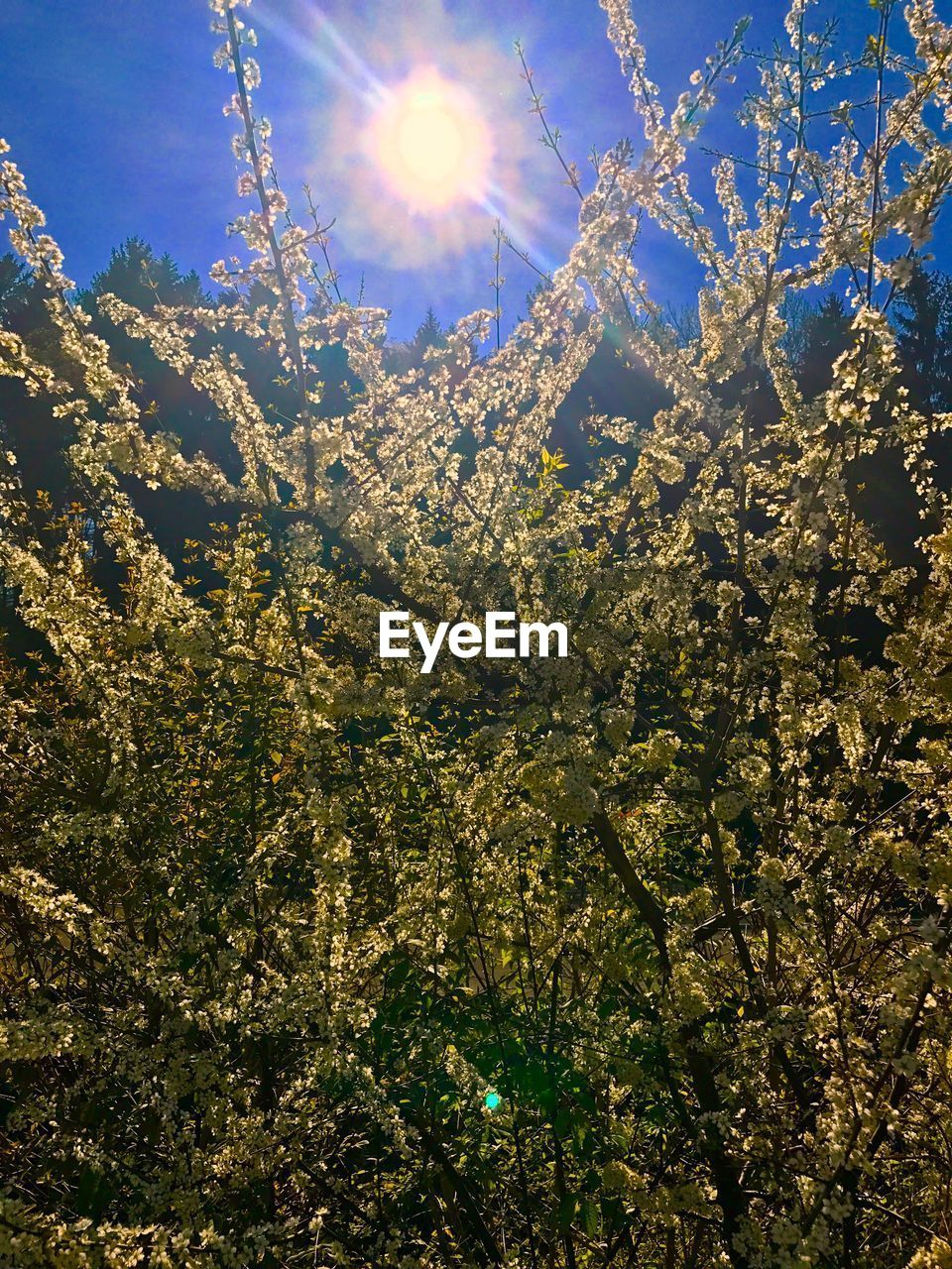 nature, beauty in nature, growth, sun, tree, sunlight, sunbeam, flower, low angle view, bright, branch, no people, fragility, blossom, day, freshness, tranquility, outdoors, scenics, springtime, sky, sunshine, close-up