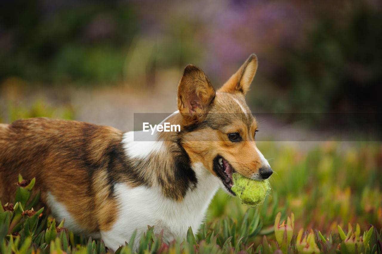 View of dog carrying ball in mouth