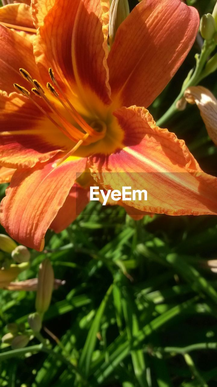 Close-Up Of Orange Lily Blooming Outdoors