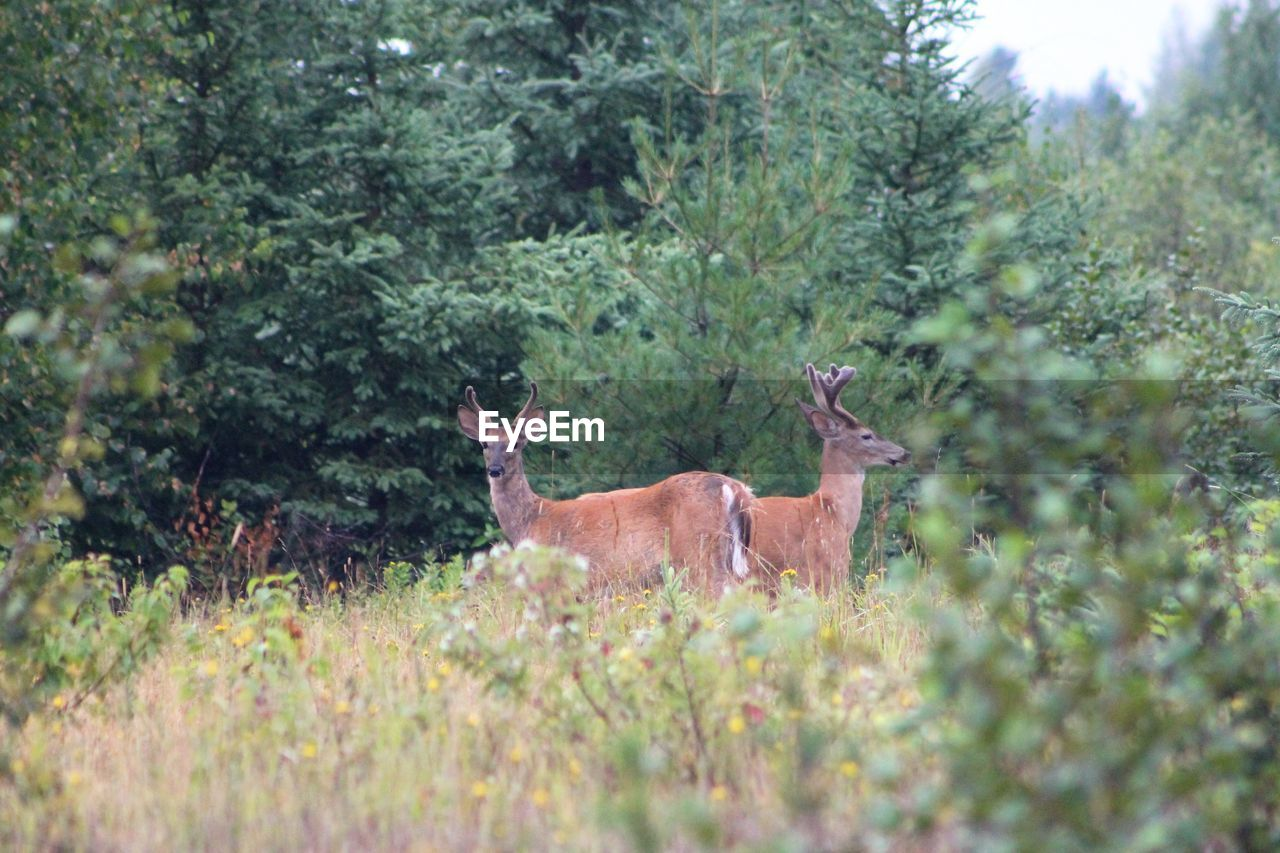 animal themes, plant, mammal, animal, animal wildlife, tree, animals in the wild, land, deer, nature, vertebrate, no people, forest, day, growth, grass, field, one animal, domestic animals, outdoors, herbivorous