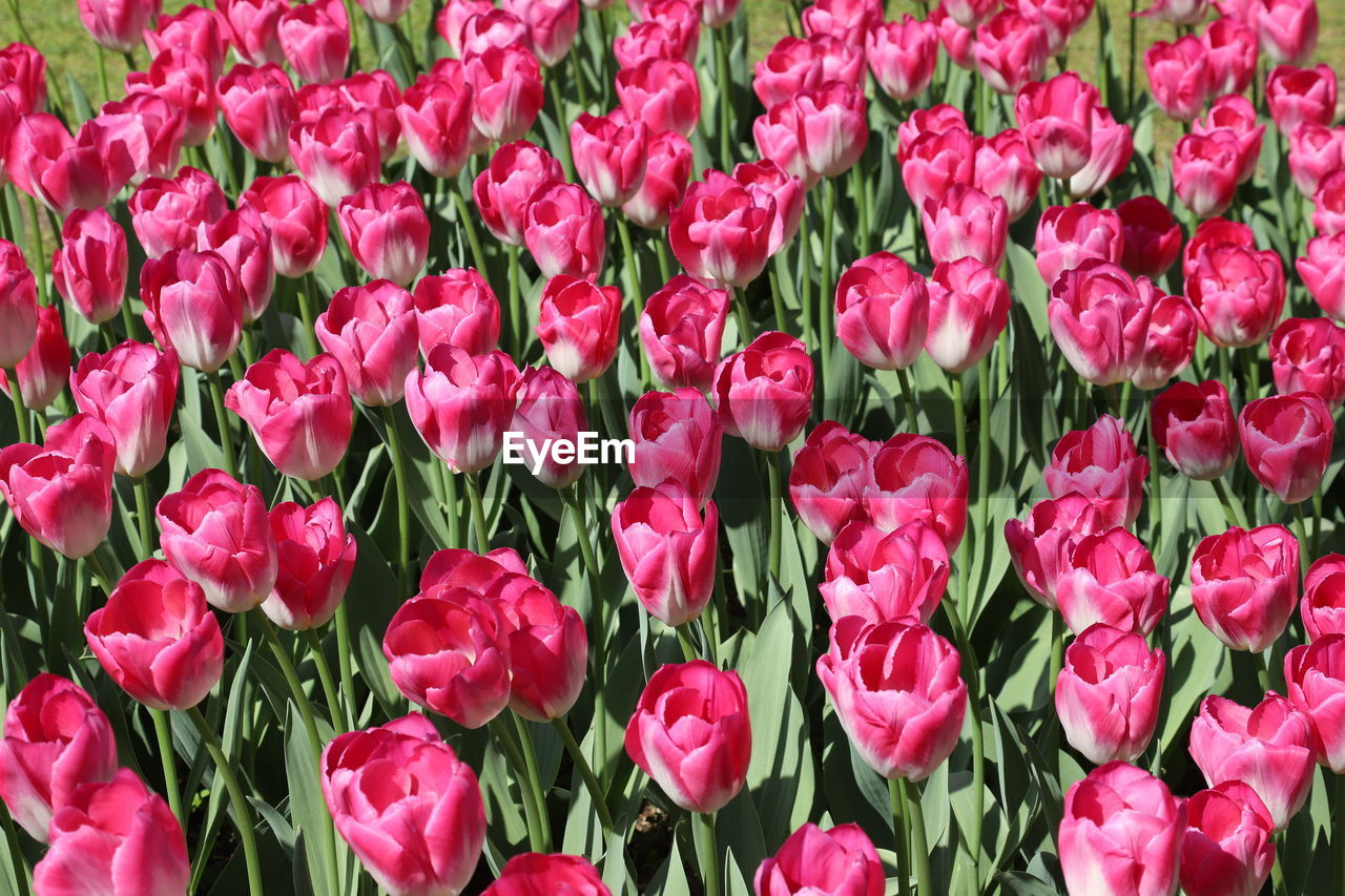 flower, flowering plant, plant, beauty in nature, freshness, vulnerability, fragility, petal, pink color, close-up, full frame, backgrounds, flower head, inflorescence, growth, tulip, red, nature, no people, abundance, outdoors, springtime, flowerbed, gardening, flower arrangement