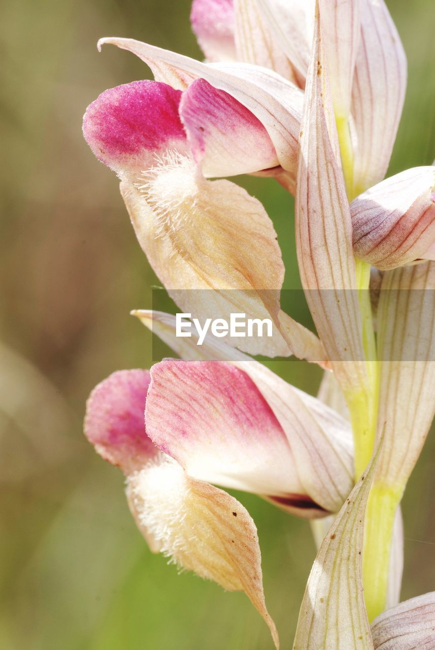 flowering plant, flower, plant, fragility, vulnerability, petal, beauty in nature, close-up, freshness, growth, inflorescence, flower head, pink color, no people, focus on foreground, day, nature, lily, botany, outdoors, springtime, softness