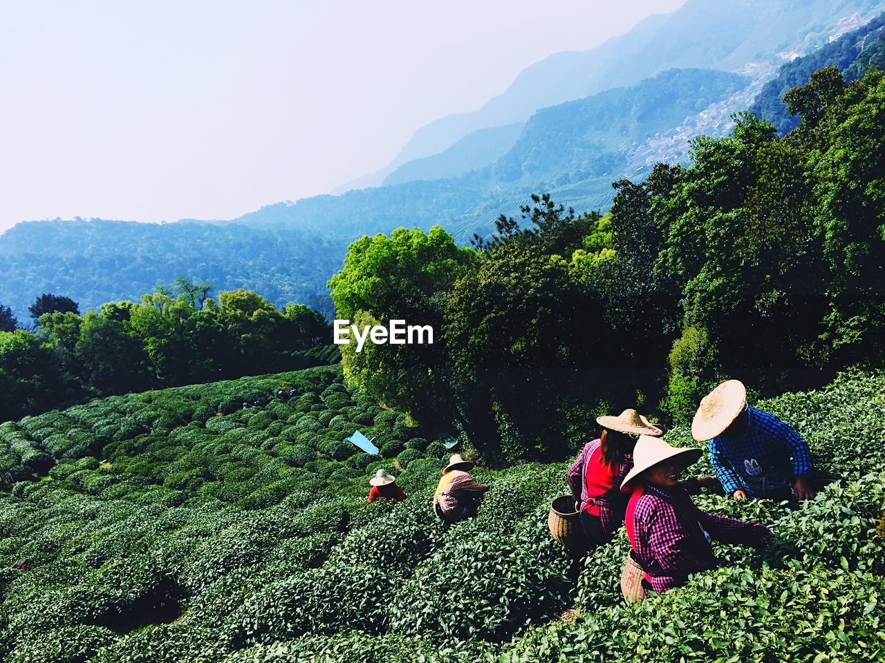 High Angle View Of People Working At Tea Farm