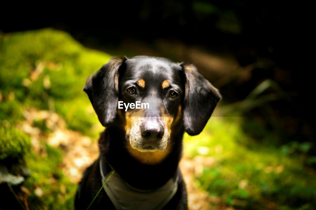 dog, one animal, pets, domestic animals, animal themes, mammal, looking at camera, focus on foreground, portrait, outdoors, black color, day, nature, no people, close-up