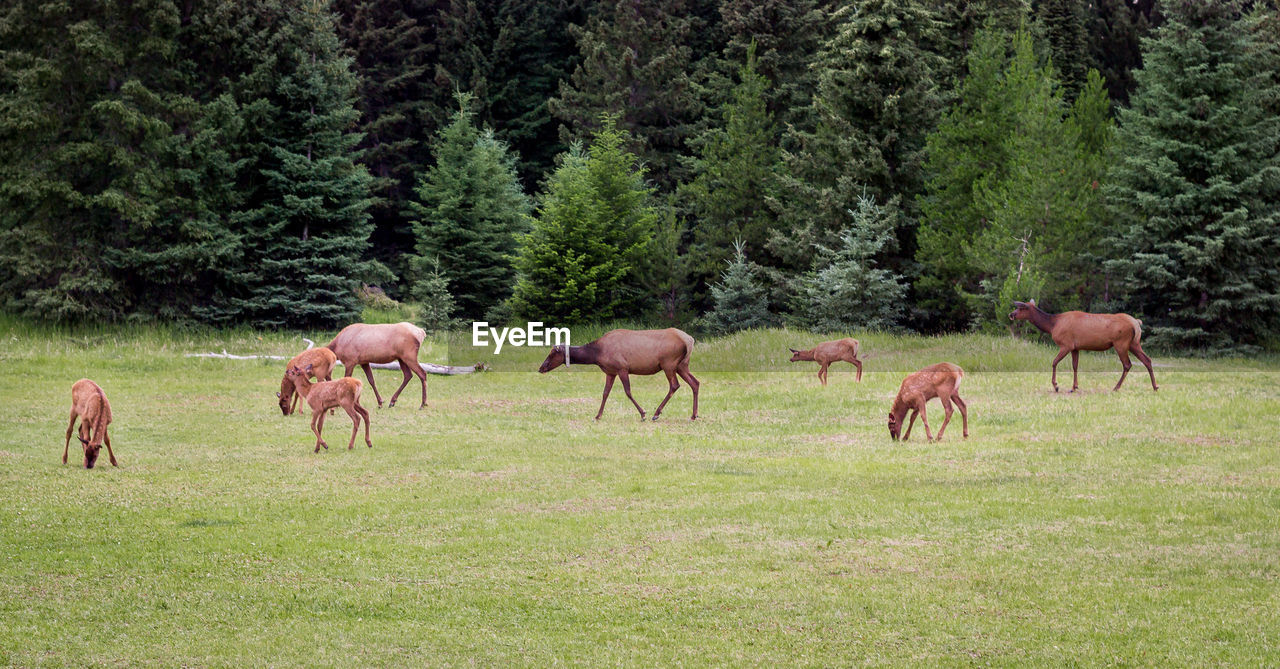 Deer on green land at jasper national park