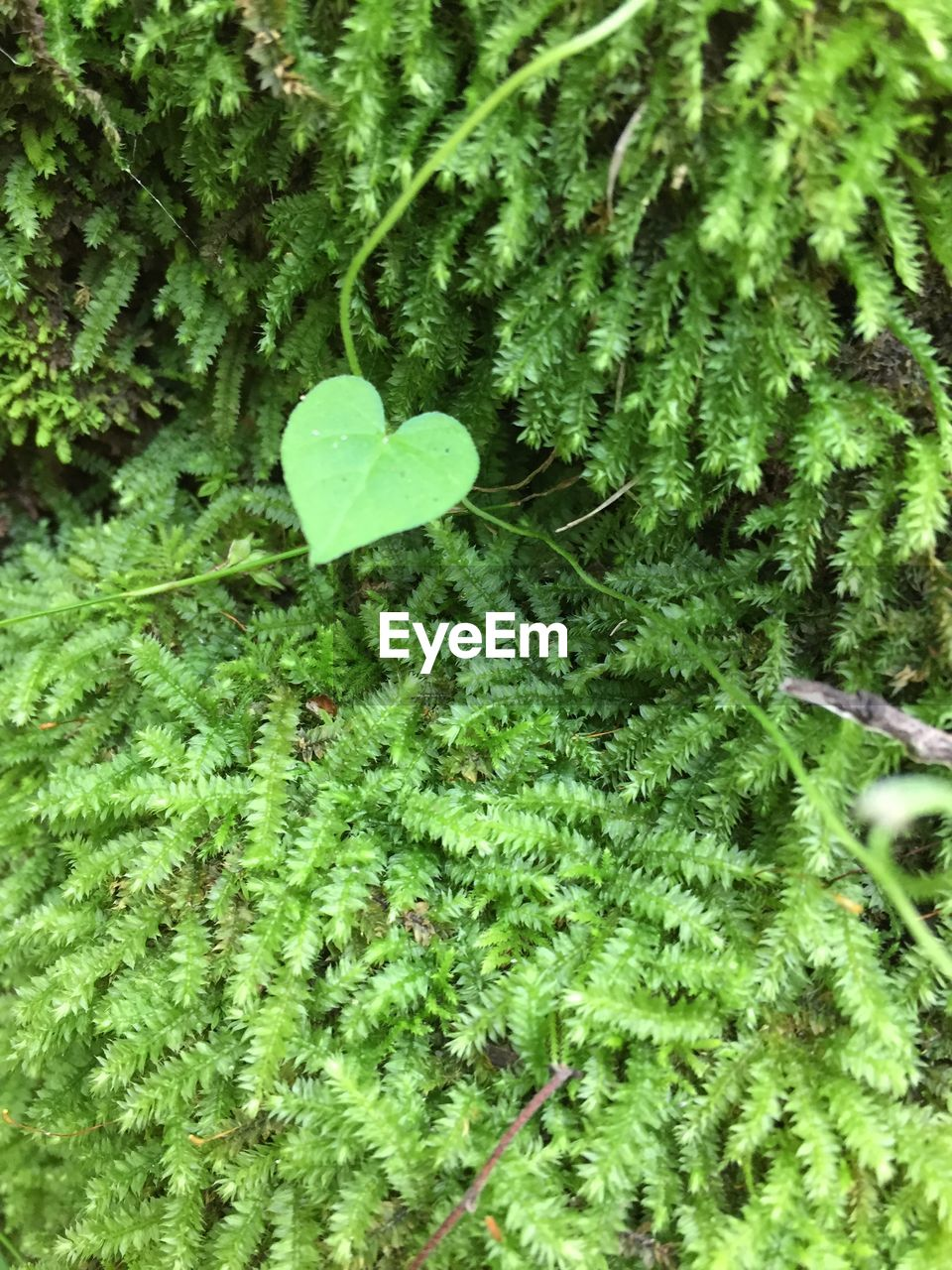 green color, plant, growth, leaf, plant part, nature, beauty in nature, close-up, no people, day, selective focus, high angle view, freshness, fragility, tranquility, vulnerability, outdoors, land, botany, green, clover