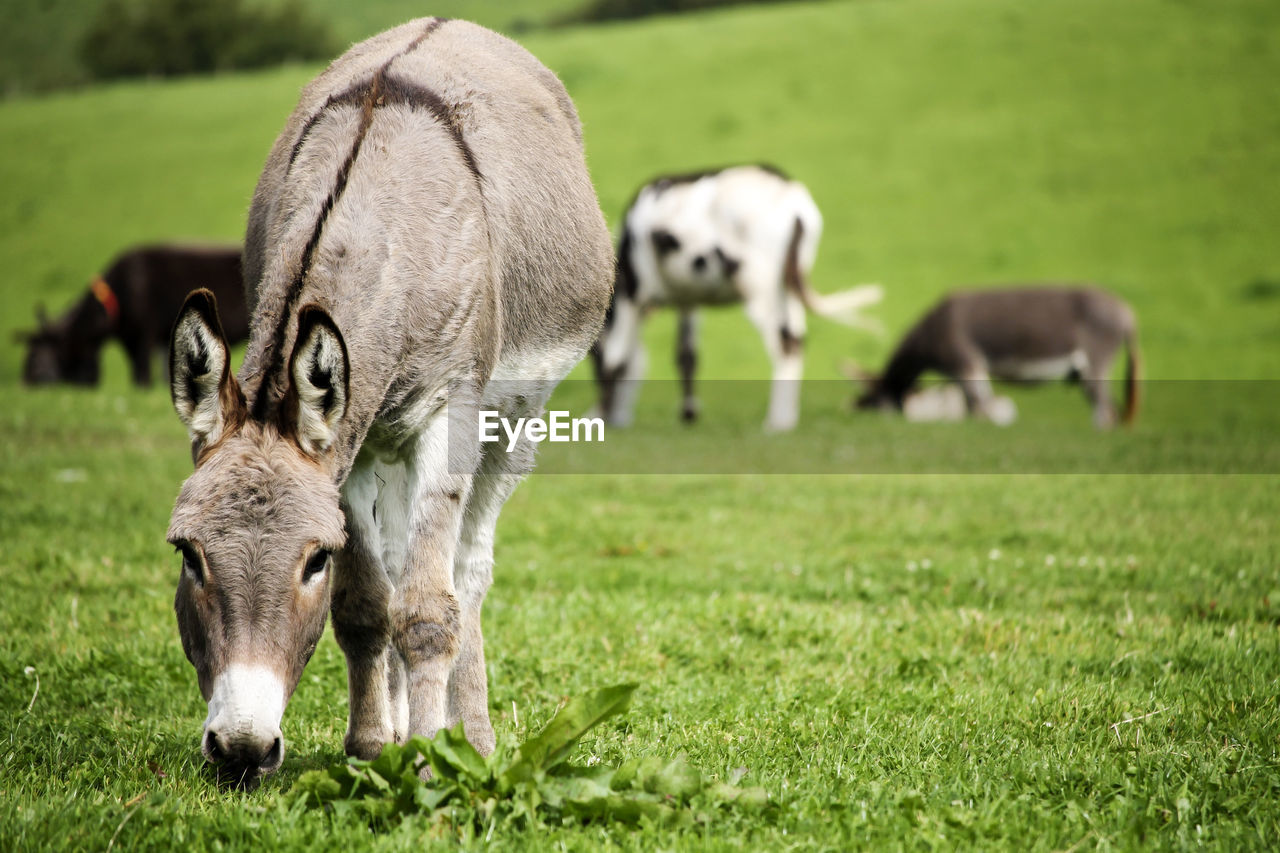 mammal, animal themes, animal, grass, domestic animals, group of animals, field, domestic, plant, land, livestock, pets, vertebrate, no people, grazing, nature, young animal, green color, focus on foreground, day, outdoors, animal family, herbivorous