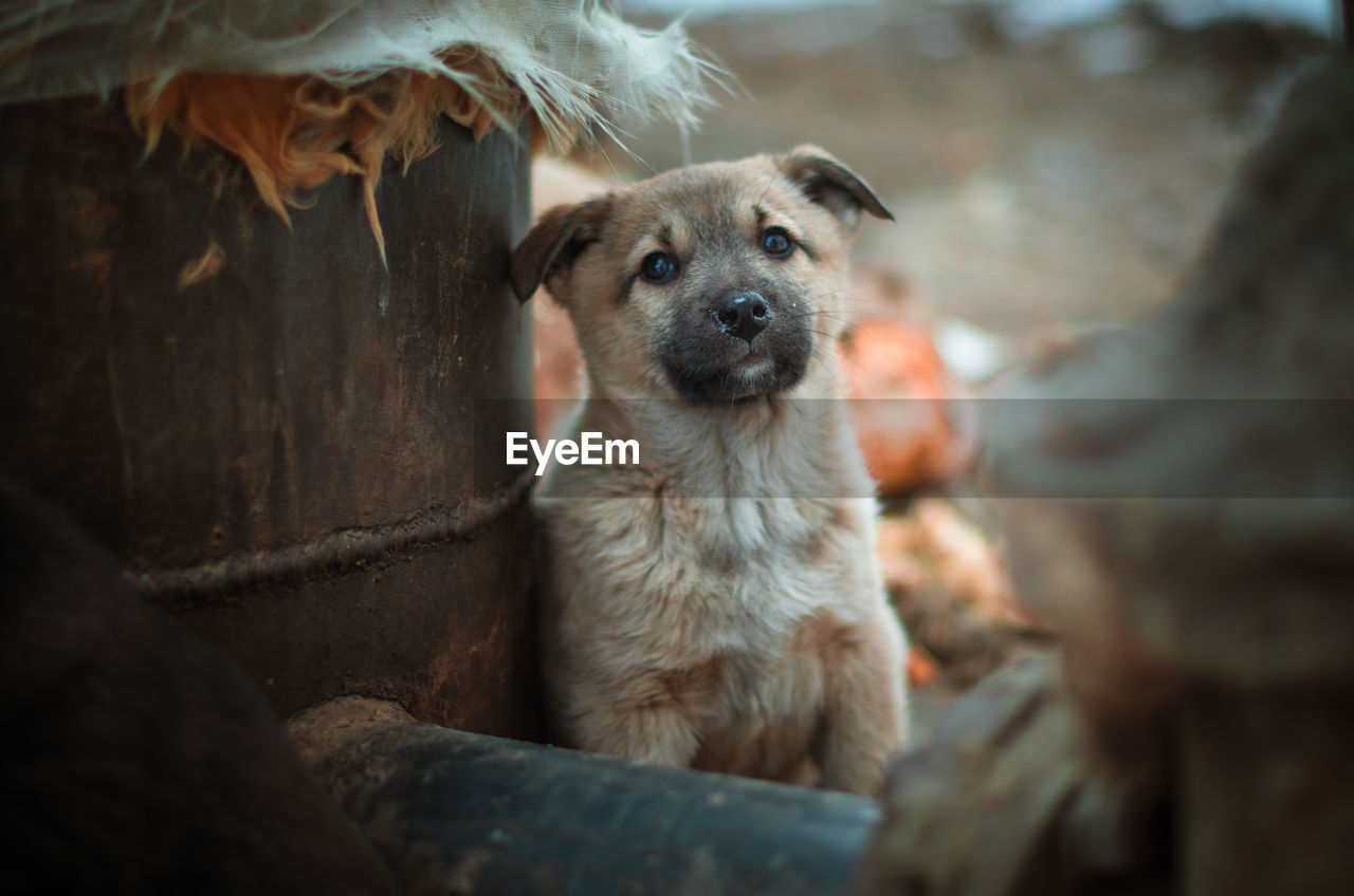 mammal, one animal, vertebrate, canine, domestic, dog, pets, domestic animals, selective focus, no people, looking at camera, portrait, relaxation, day, sitting, outdoors