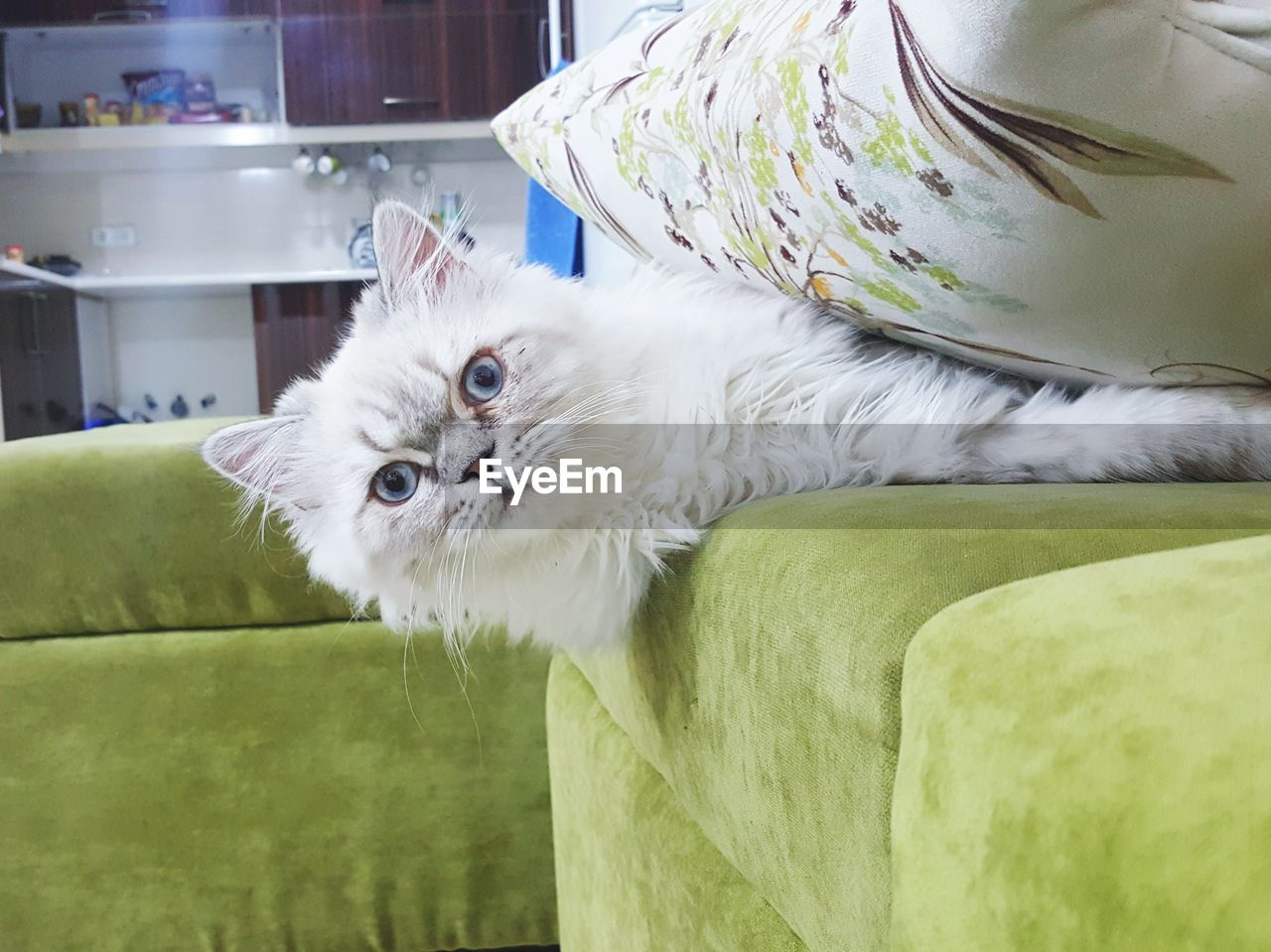 pets, domestic animals, one animal, animal themes, mammal, domestic cat, feline, indoors, looking at camera, portrait, lying down, no people, day, close-up, persian cat