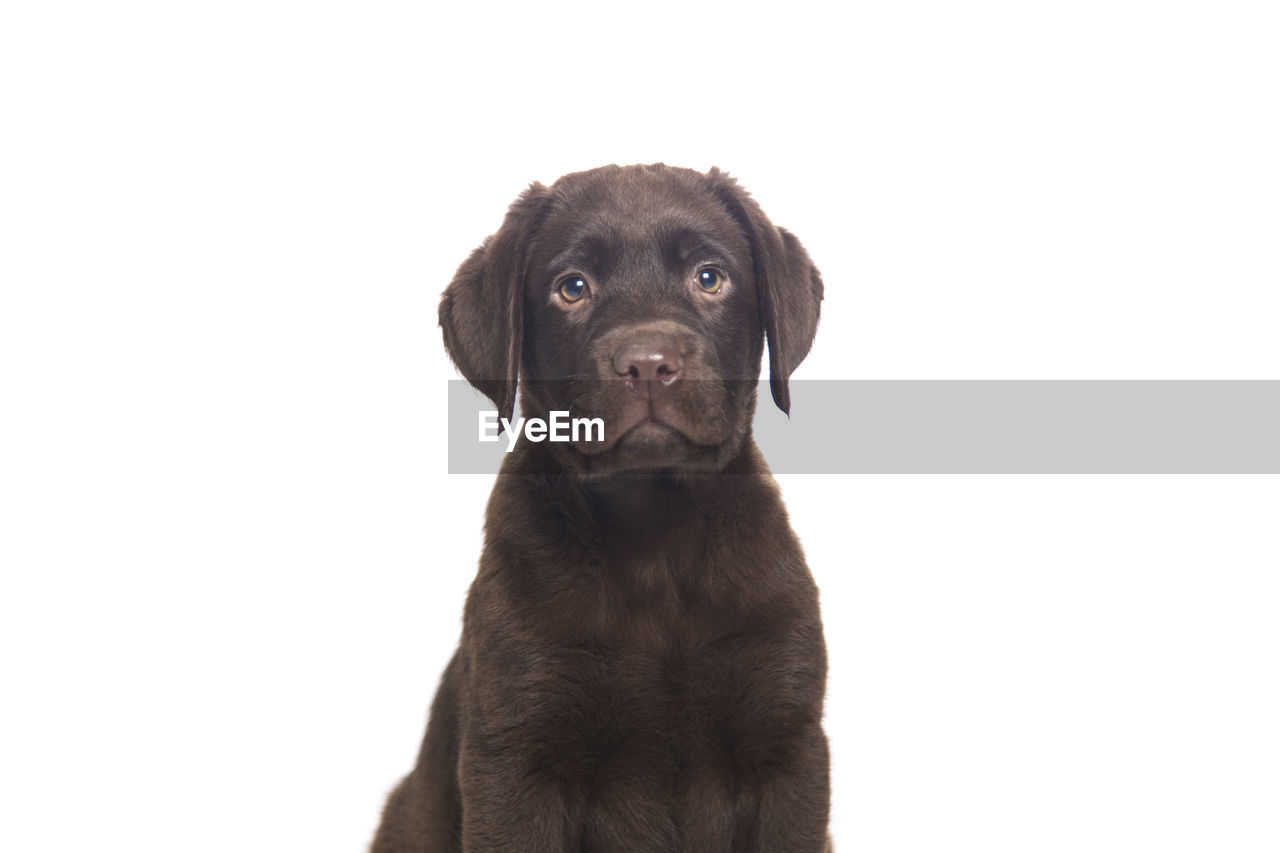 one animal, dog, canine, pets, domestic, domestic animals, mammal, studio shot, portrait, indoors, copy space, looking at camera, white background, no people, vertebrate, young animal, close-up, purebred dog