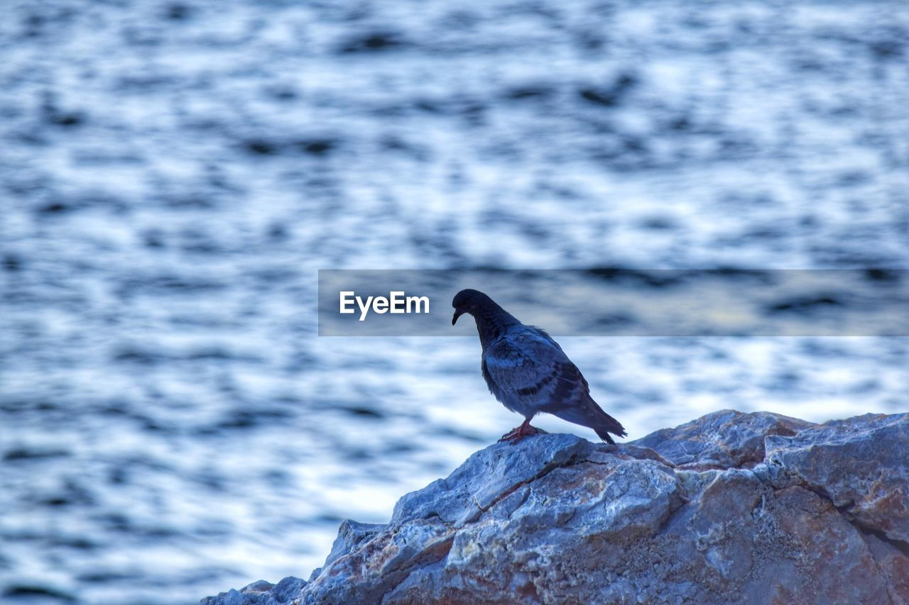 animal wildlife, animals in the wild, one animal, animal themes, vertebrate, bird, animal, perching, rock, solid, water, rock - object, sea, day, no people, nature, focus on foreground, outdoors, beauty in nature