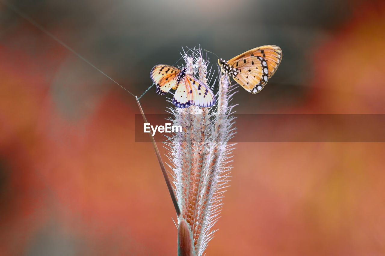 insect, animal wildlife, invertebrate, close-up, beauty in nature, animals in the wild, animal, animal themes, one animal, fragility, flower, plant, vulnerability, focus on foreground, nature, animal wing, day, no people, flowering plant, butterfly - insect, outdoors, butterfly, pollination