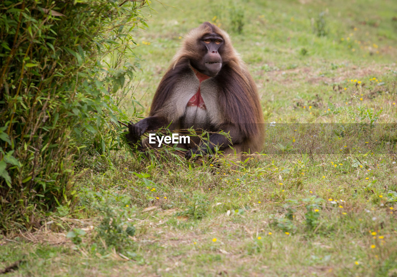 animal wildlife, primate, animals in the wild, mammal, sitting, plant, one animal, grass, vertebrate, nature, no people, full length, day, land, ape, selective focus, outdoors, baboon