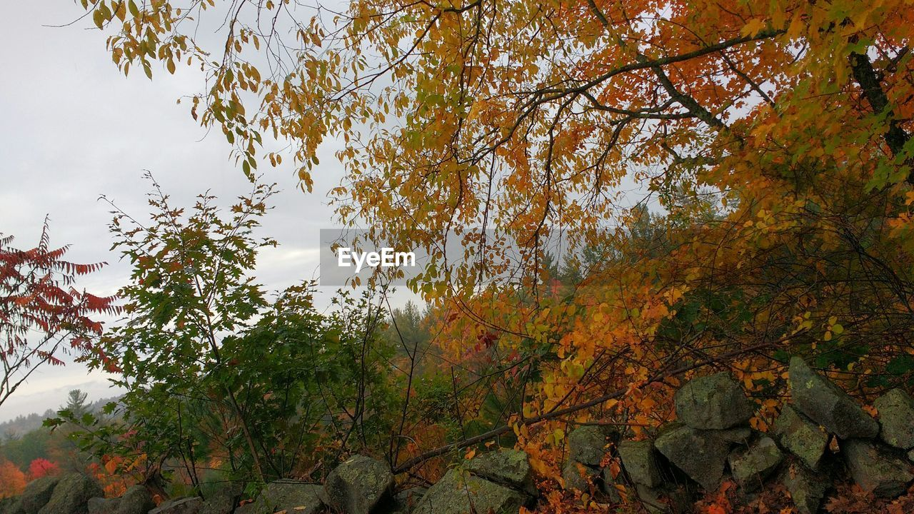 tree, autumn, leaf, nature, change, beauty in nature, growth, branch, day, outdoors, tranquility, tranquil scene, no people, scenics, forest, low angle view, sky