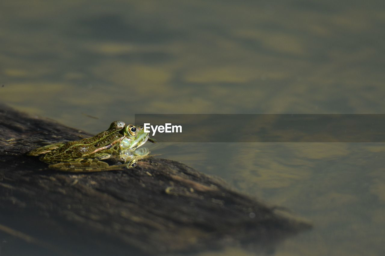 Close-up of frog on wood in lake