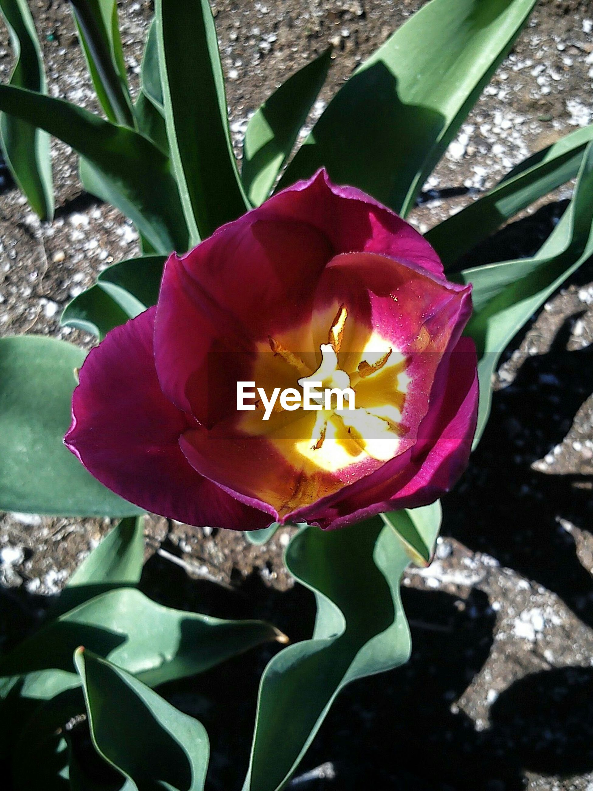 High angle view of tulip blooming outdoors