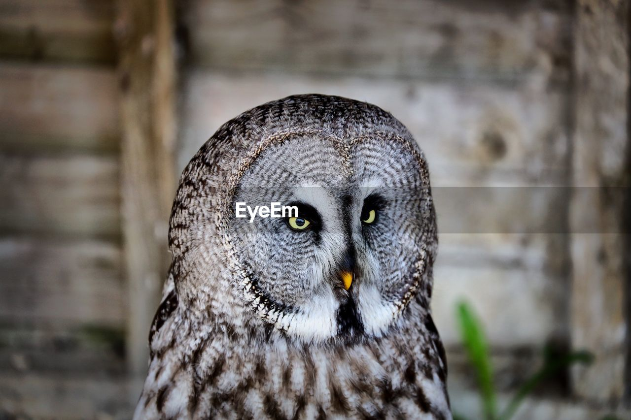 one animal, animal themes, animal, owl, focus on foreground, animal wildlife, animals in the wild, bird of prey, close-up, vertebrate, bird, day, animal body part, portrait, no people, looking at camera, looking, animal head, outdoors, animal eye, yellow eyes