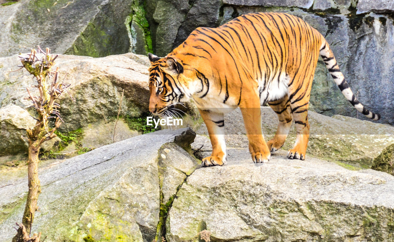 rock - object, tiger, one animal, animal themes, animal wildlife, animals in the wild, rock formation, zoo, day, full length, outdoors, mammal, nature, no people, white tiger, feline