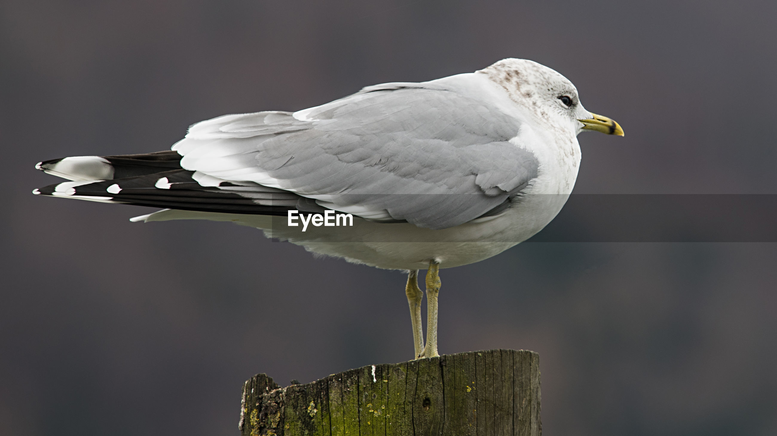 CLOSE-UP OF SEAGULL ON WOODEN POST