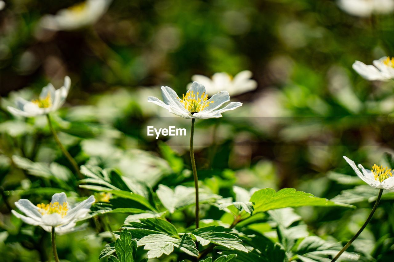 plant, flower, flowering plant, freshness, beauty in nature, vulnerability, growth, fragility, petal, close-up, flower head, nature, inflorescence, white color, no people, focus on foreground, plant part, leaf, day, plant stem, pollen