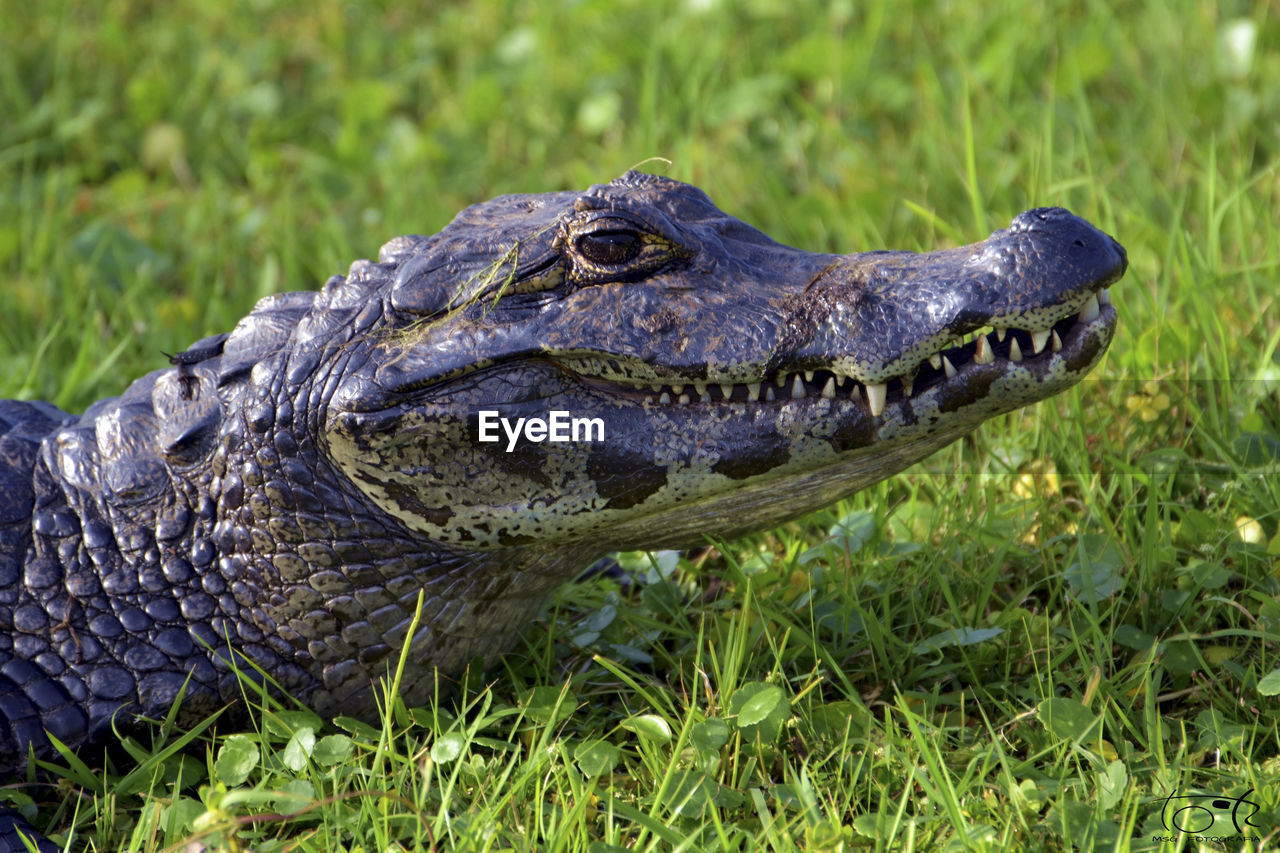 Close-up of alligator on field