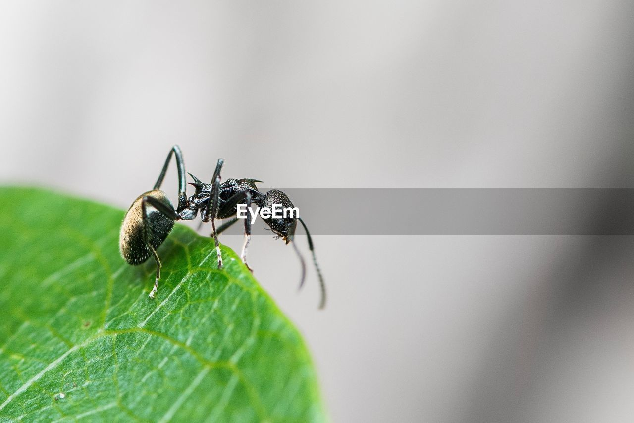 invertebrate, insect, animals in the wild, animal themes, animal wildlife, animal, one animal, plant part, leaf, close-up, green color, selective focus, no people, day, nature, zoology, arthropod, ant, plant, focus on foreground, outdoors