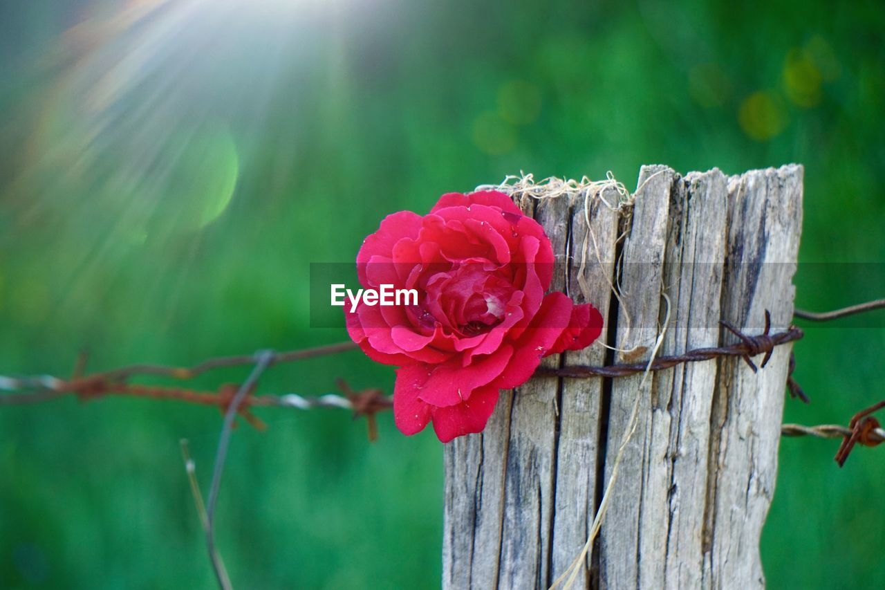 plant, flower, flowering plant, focus on foreground, fragility, vulnerability, close-up, fence, beauty in nature, nature, petal, flower head, freshness, red, boundary, barrier, inflorescence, rose, day, rose - flower, no people, pink color, outdoors
