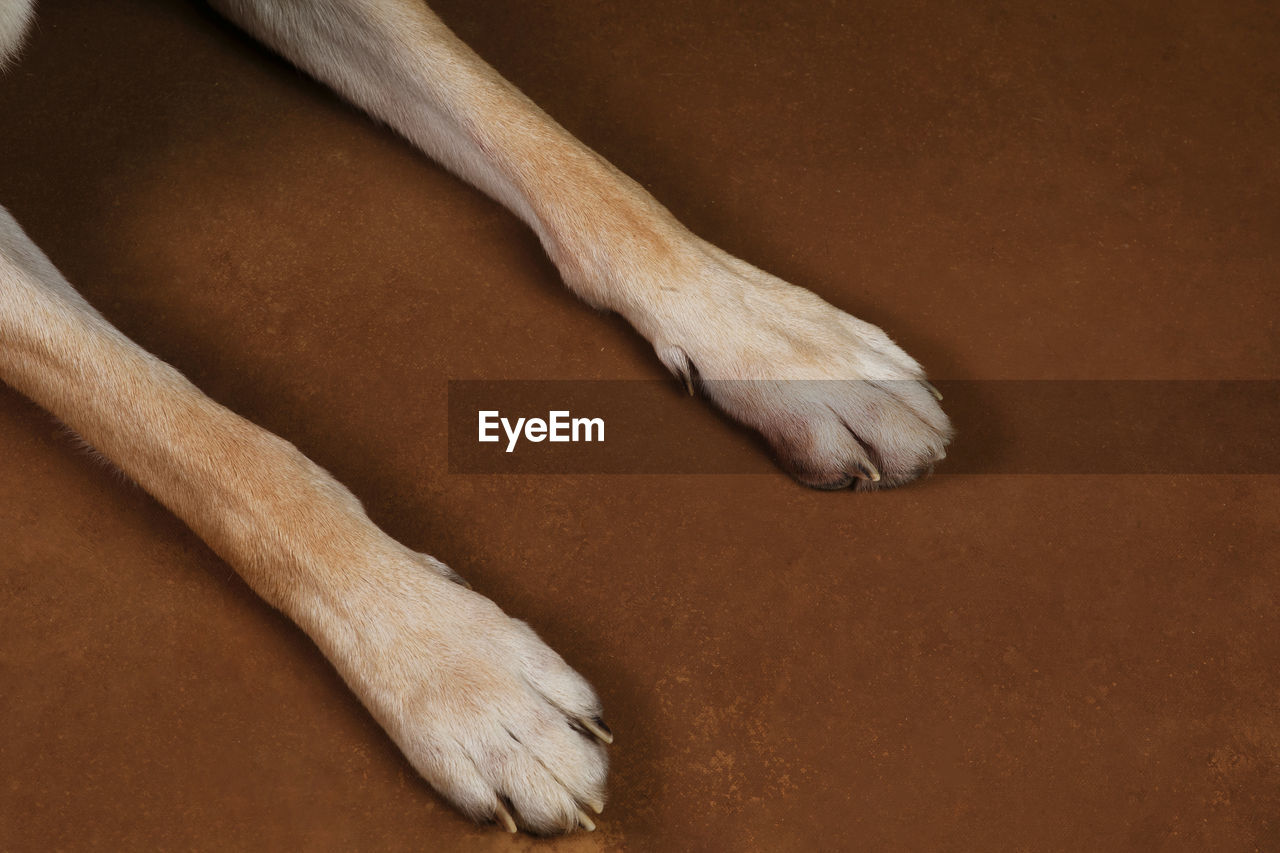 mammal, one animal, domestic animals, domestic, animal themes, pets, animal leg, animal, dog, canine, animal body part, relaxation, vertebrate, indoors, no people, paw, close-up, tail, high angle view