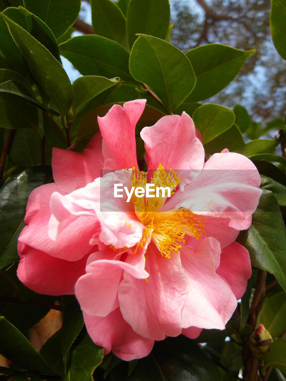 flower, petal, beauty in nature, nature, growth, fragility, flower head, plant, pink color, leaf, no people, freshness, blooming, outdoors, close-up, day, hibiscus