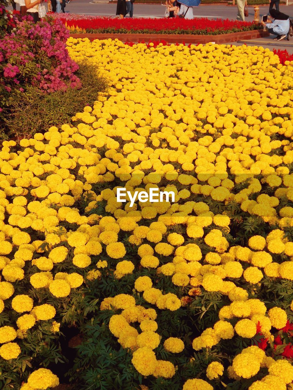 flower, yellow, abundance, nature, freshness, beauty in nature, fragility, outdoors, growth, day, flowerbed, plant, large group of objects, no people, marigold, landscape, flower head, close-up