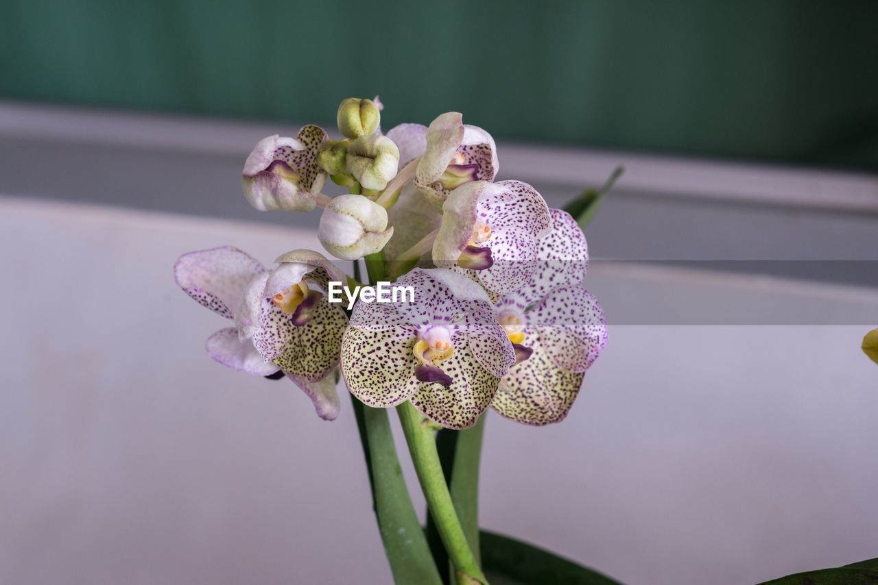 Close-Up Of Purple Orchid Flower