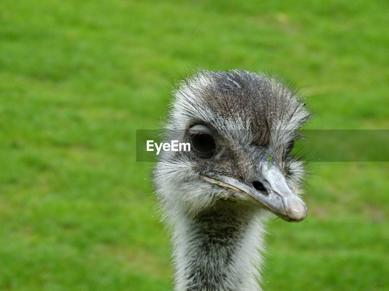 animal, animal themes, vertebrate, one animal, bird, animals in the wild, animal wildlife, ostrich, land, close-up, focus on foreground, field, nature, day, animal body part, no people, grass, beak, young animal, animal head, animal eye, gosling