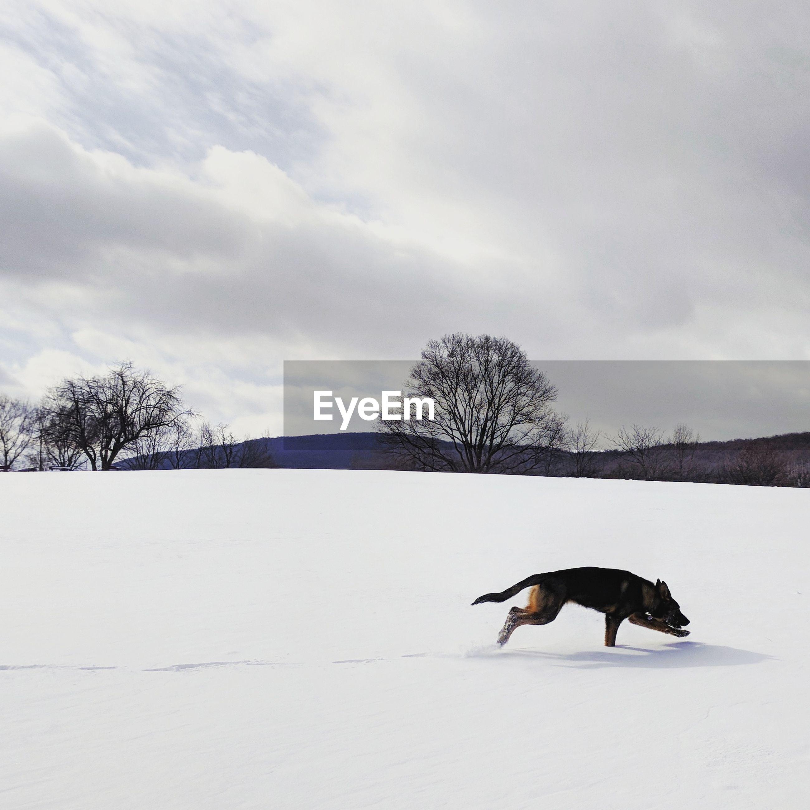 German shepherd runs in snow