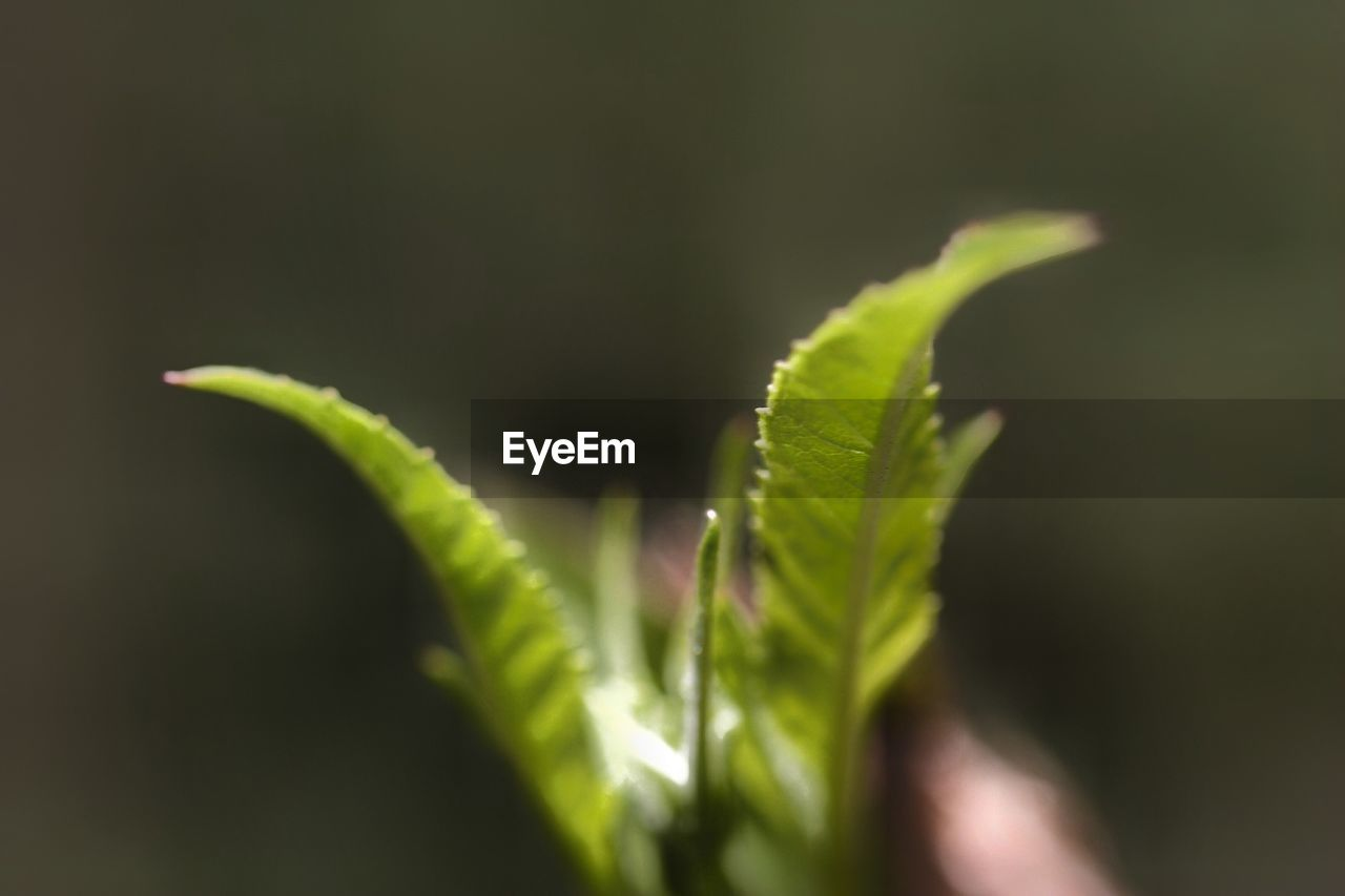 growth, green color, plant, close-up, plant part, selective focus, beauty in nature, leaf, nature, no people, day, outdoors, vulnerability, freshness, fragility, focus on foreground, tranquility, beginnings, sunlight