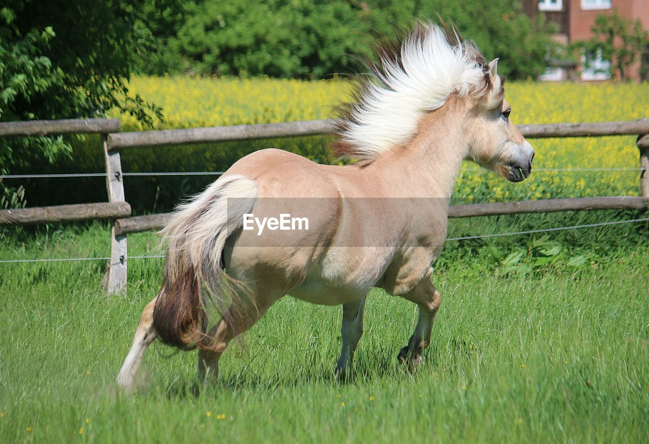 mammal, livestock, domestic animals, animal, domestic, pets, grass, animal themes, plant, horse, land, field, vertebrate, one animal, animal wildlife, nature, green color, standing, day, fence, no people, herbivorous, outdoors, pony, paddock