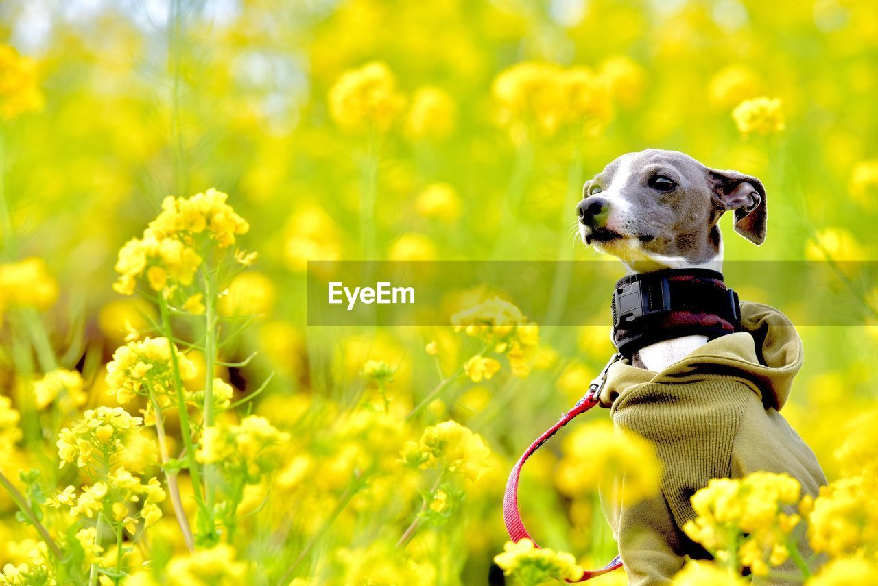 one animal, animal themes, dog, canine, domestic, domestic animals, pets, animal, mammal, flower, flowering plant, plant, yellow, nature, vertebrate, growth, day, beauty in nature, field, land, no people, outdoors, animal head