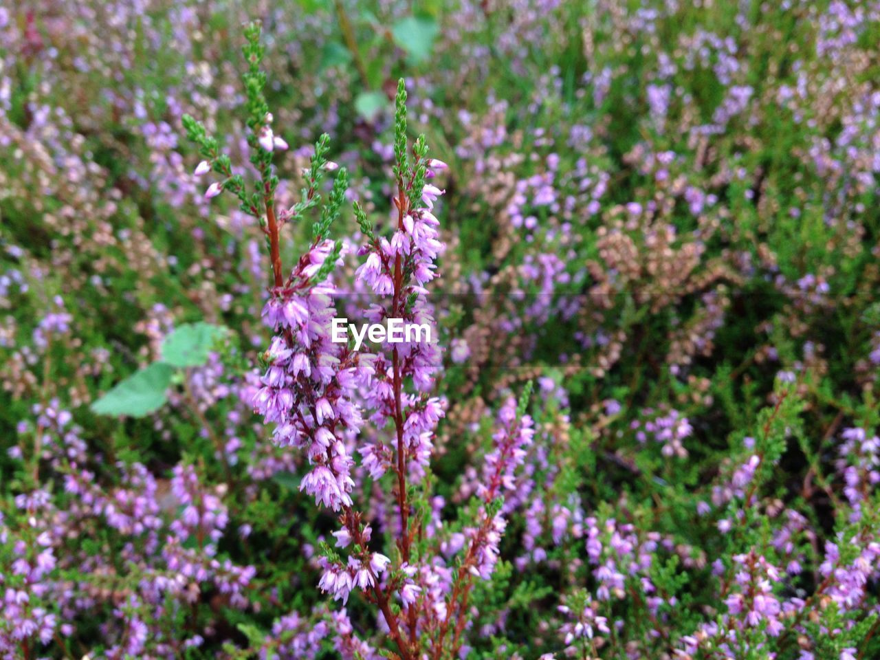 nature, flower, growth, plant, beauty in nature, fragility, purple, no people, focus on foreground, outdoors, day, close-up, freshness, flower head